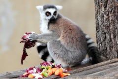 Кольц-замкнутый lemur (catta Lemur) есть фрукты и овощи Стоковое Изображение RF
