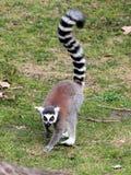 Кольц-замкнутый lemur (catta Lemur) двигая на том основании Стоковое Изображение