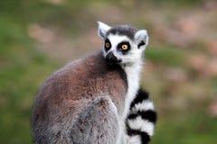 Кольц-замкнутый lemur (catta Lemur) Стоковое фото RF