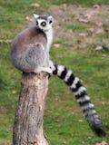 Кольц-замкнутый lemur (catta Lemur) сидя на журнале Стоковая Фотография