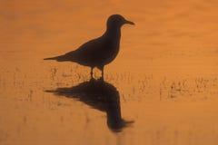 Кольц-представленная счет чайка, delawarensis Larus Стоковые Изображения RF