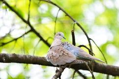 Кольц-necked женщина голубя  Стоковые Изображения