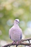 Кольц-necked изолированный голубь Стоковая Фотография RF