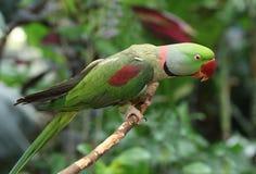 Кольц-necked длиннохвостый попугай в древесинах Стоковые Фото