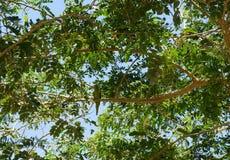 Кольц-necked длиннохвостый попугай на акации Стоковые Изображения
