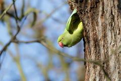 Кольц-necked длиннохвостый попугай (krameri ожерелового попугая) Стоковые Изображения