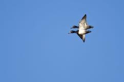 2 Кольц-Necked утки летая близко в голубое небо Стоковые Фотографии RF