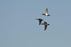 3 Кольц-Necked утки летая в голубое небо Стоковое Изображение RF