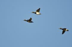 3 Кольц-Necked утки летая в голубое небо Стоковая Фотография RF