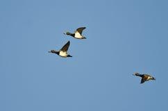 3 Кольц-Necked утки летая в голубое небо Стоковые Изображения RF