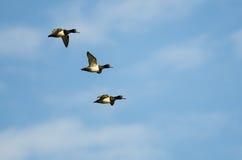 3 Кольц-Necked утки летая в голубое небо Стоковое Фото