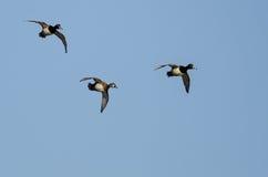 3 Кольц-Necked утки летая в голубое небо Стоковые Фото