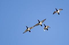 4 Кольц-Necked утки летая в голубое небо Стоковые Изображения RF