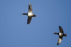 2 Кольц-Necked утки летая в голубое небо Стоковое фото RF
