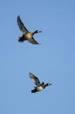 2 Кольц-Necked утки летая в голубое небо Стоковая Фотография