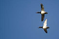 Кольц-Necked утки летая в голубое небо Стоковые Фото