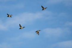 4 Кольц-Necked утки летая в голубое небо Стоковое фото RF
