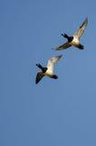2 Кольц-Necked утки летая в голубое небо Стоковые Изображения