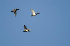 3 Кольц-Necked утки летая в голубое небо Стоковые Изображения