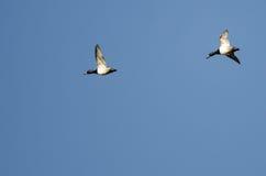 2 Кольц-Necked утки летая в голубое небо Стоковые Фотографии RF
