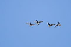 4 Кольц-Necked утки летая в голубое небо Стоковые Фотографии RF