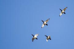 4 Кольц-Necked утки летая в голубое небо Стоковая Фотография
