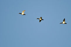 3 Кольц-Necked утки летая в голубое небо Стоковое фото RF