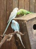 Кольц-necked krameri ожерелового попугая длиннохвостого попугая и голубой длиннохвостый попугай Ringneck индейца Стоковые Изображения