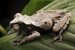 Колючая возглавленная древесная лягушка стоковая фотография rf
