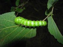 Колючая гусеница на лист Стоковое Изображение RF
