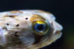 Колючее holocanthus Diodon ежа рыбы имеет глаза которые сверкнают острословие Стоковые Изображения RF