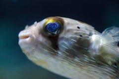 Колючее holocanthus Diodon ежа рыбы имеет глаза которые сверкнают острословие Стоковые Изображения