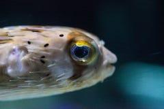 Колючее holocanthus Diodon ежа рыбы имеет глаза которые сверкнают острословие Стоковое фото RF