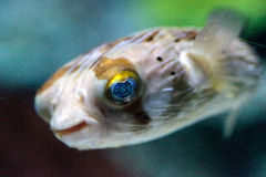 Колючее holocanthus Diodon ежа рыбы имеет глаза которые сверкнают острословие Стоковая Фотография