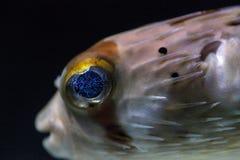 Колючее holocanthus Diodon ежа рыбы имеет глаза которые сверкнают острословие Стоковое Изображение