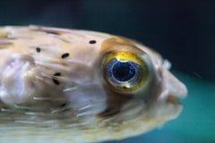 Колючее holocanthus Diodon ежа рыбы имеет глаза которые сверкнают острословие Стоковая Фотография RF