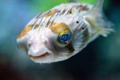 Колючее holocanthus Diodon ежа рыбы имеет глаза которые сверкнают острословие Стоковое Изображение RF