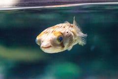 Колючее holocanthus Diodon ежа рыбы Стоковое фото RF