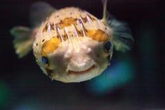 Колючее holocanthus Diodon ежа рыбы Стоковые Фото