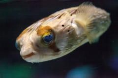 Колючее holocanthus Diodon ежа рыбы Стоковые Изображения RF