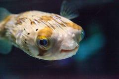 Колючее holocanthus Diodon ежа рыбы Стоковая Фотография