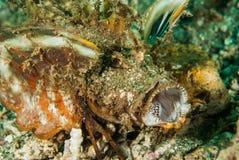 Колючий scorpionfish devilfish в Ambon, Maluku, фото Индонезии подводном Стоковое Изображение