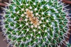 Колючки крупный план кактуса Стоковая Фотография