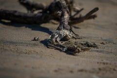 Крабы в Коста-Рика Стоковые Фото