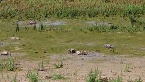 Крабы в природном парке Estrecho испанского языка около Тарифы видеоматериал