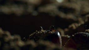 Крабы ждут молодые hatchlings черепахи hawksbill для того чтобы прийти к ним bristols стоковые изображения rf