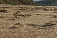 Крабы на песке пляжа накидки Ledo, Африки anisette С светом захода солнца стоковая фотография