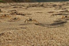 Крабы на песке пляжа накидки Ledo, Африки anisette С светом захода солнца стоковое фото rf