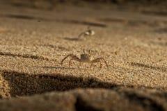 Крабы на песке пляжа накидки Ledo, Африки anisette С светом захода солнца стоковое изображение