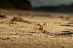 Крабы на песке пляжа накидки Ledo, Африки anisette С светом захода солнца стоковые фото